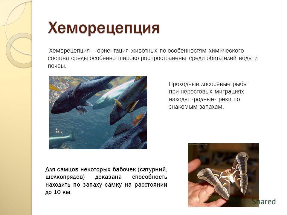 Хеморецепция Хеморецепция – ориентация животных по особенностям химического состава среды особенно широко распространены среди обитателей воды и почвы. Проходные лососёвые рыбы при нерестовых миграциях находят «родные» реки по знакомым запахам. Для с