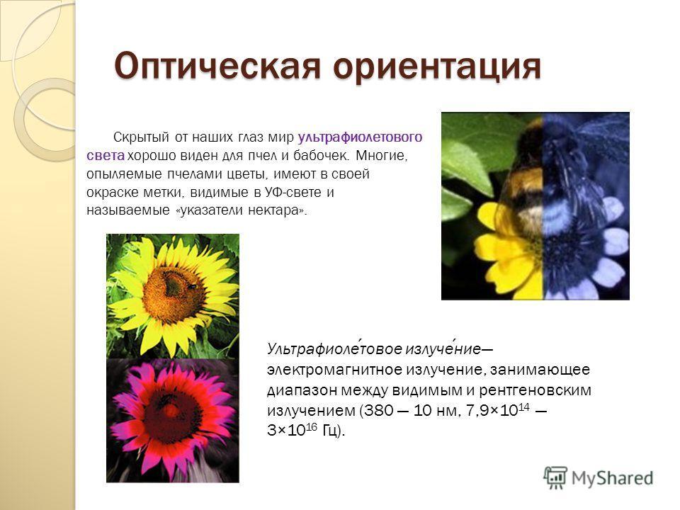 Оптическая ориентация Скрытый от наших глаз мир ультрафиолетового света хорошо виден для пчел и бабочек. Многие, опыляемые пчелами цветы, имеют в своей окраске метки, видимые в УФ-свете и называемые «указатели нектара». Ультрафиолетовое излучение эле