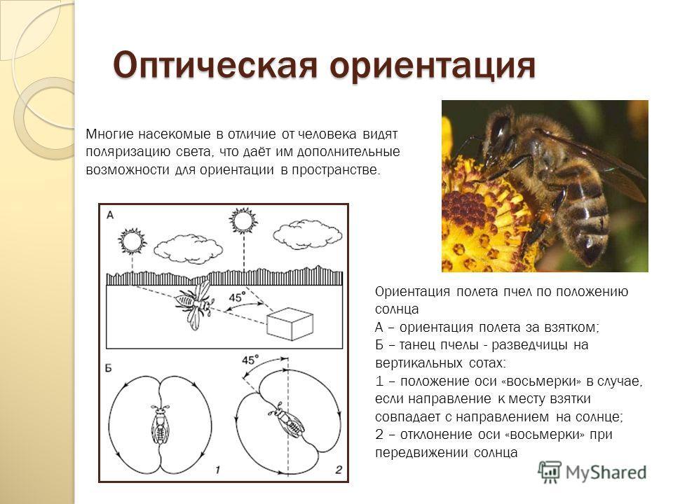 Оптическая ориентация Многие насекомые в отличие от человека видят поляризацию света, что даёт им дополнительные возможности для ориентации в пространстве. Ориентация полета пчел по положению солнца A – ориентация полета за взятком; Б – танец пчелы -