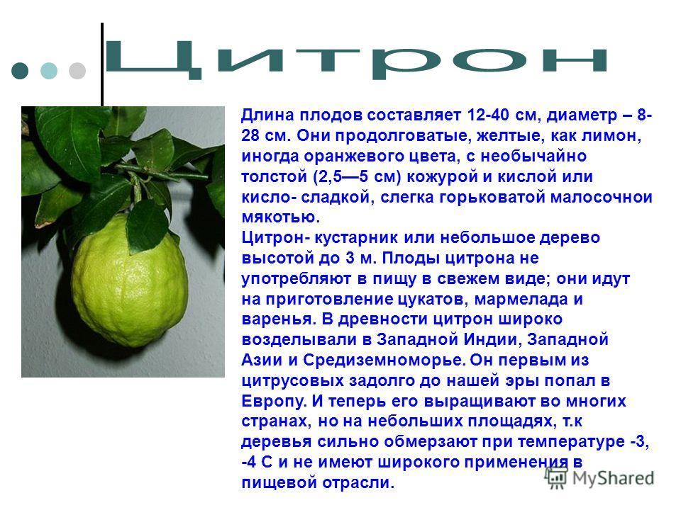 Длина плодов составляет 12-40 см, диаметр – 8- 28 см. Они продолговатые, желтые, как лимон, иногда оранжевого цвета, с необычайно толстой (2,55 см) кожурой и кислой или кисло- сладкой, слегка горьковатой малосочнои мякотью. Цитрон- кустарник или небо