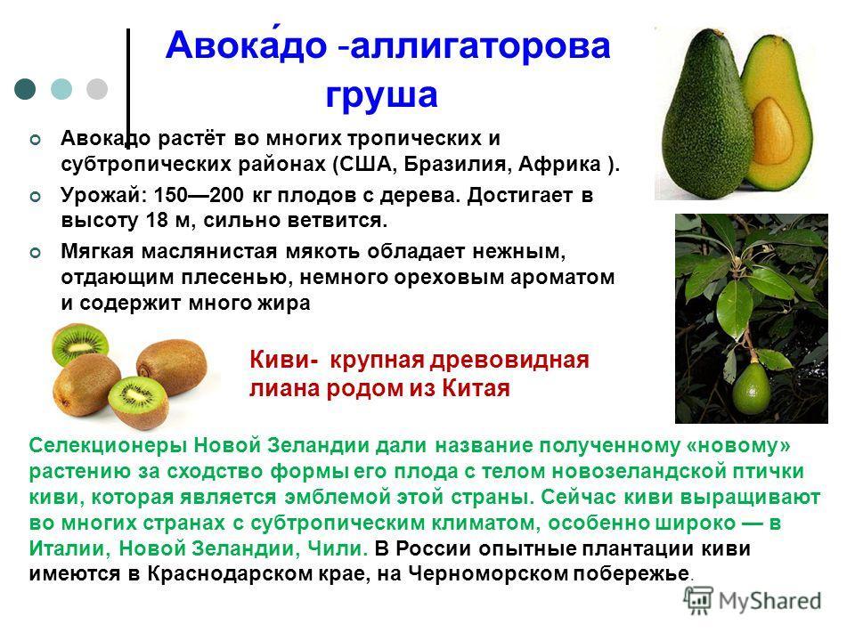 Авока́до -аллигаторова груша Авокадо растёт во многих тропических и субтропических районах (США, Бразилия, Африка ). Урожай: 150200 кг плодов с дерева. Достигает в высоту 18 м, сильно ветвится. Мягкая маслянистая мякоть обладает нежным, отдающим плес
