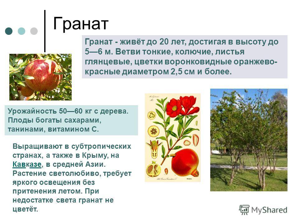 Гранат Гранат - живёт до 20 лет, достигая в высоту до 56 м. Ветви тонкие, колючие, листья глянцевые, цветки воронковидные оранжево- красные диаметром 2,5 см и более. Урожайность 5060 кг с дерева. Плоды богаты сахарами, танинами, витамином С. Выращива