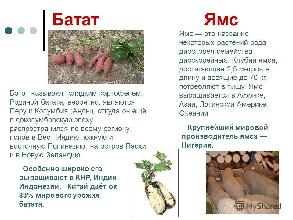 Батат Ямс Батат называют сладким картофелем. Родиной батата, вероятно, являются Перу и Колумбия (Анды), откуда он ещё в доколумбовскую эпоху распространился по всему региону, попав в Вест-Индию, южную и восточную Полинезию, на остров Пасхи и в Новую