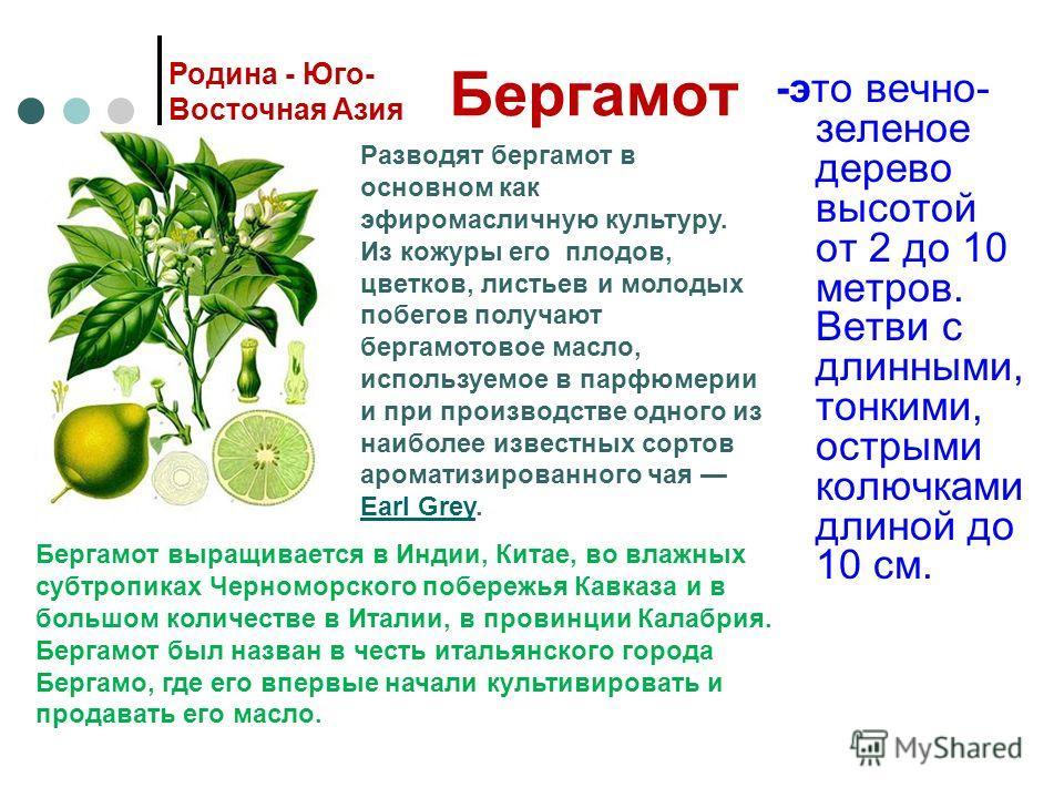 Бергамот -это вечно- зеленое дерево высотой от 2 до 10 метров. Ветви с длинными, тонкими, острыми колючками длиной до 10 см. Родина - Юго- Восточная Азия Разводят бергамот в основном как эфиромасличную культуру. Из кожуры его плодов, цветков, листьев