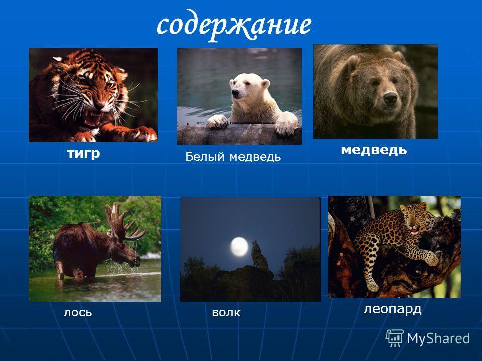 содержание тигрмедведь леопард Белый медведь волк лось