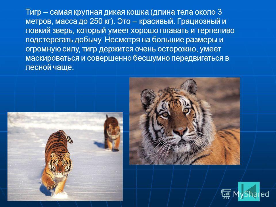 Тигр – самая крупная дикая кошка (длина тела около 3 метров, масса до 250 кг). Это – красивый. Грациозный и ловкий зверь, который умеет хорошо плавать и терпеливо подстерегать добычу. Несмотря на большие размеры и огромную силу, тигр держится очень о