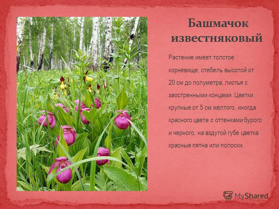 Растение имеет толстое корневище, стебель высотой от 20 см до полуметра, листья с заостренными концами. Цветки крупные от 5 см желтого, иногда красного цвета с оттенками бурого и черного, на вздутой губе цветка красные пятна или полоски.