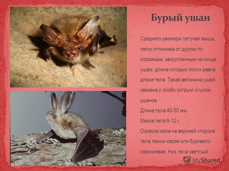 Среднего размера летучая мышь, легко отличима от других по огромным, закругленным на конце ушам, длина которых почти равна длине тела. Такая величина ушей связана с особо острым слухом ушанов. Длина тела 40-50 мм. Масса тела 6-12 г. Окраска меха на в