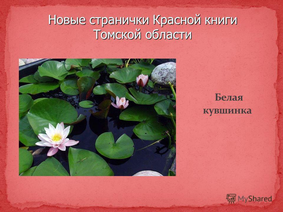 Новые странички Красной книги Томской области Белая кувшинка