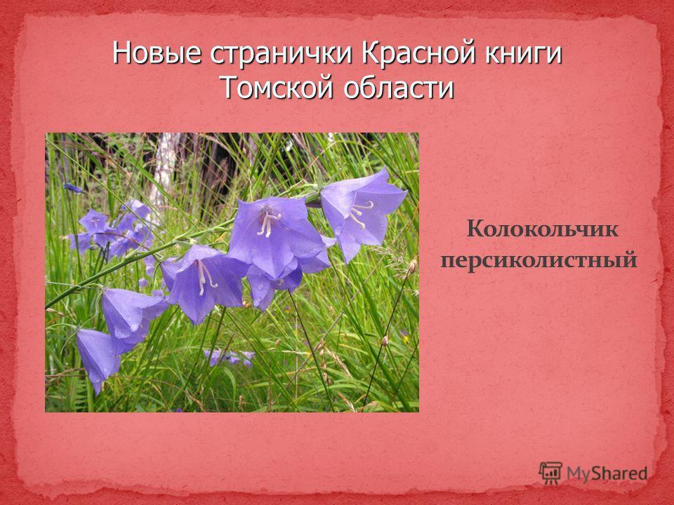 Новые странички Красной книги Томской области Колокольчик персиколистный