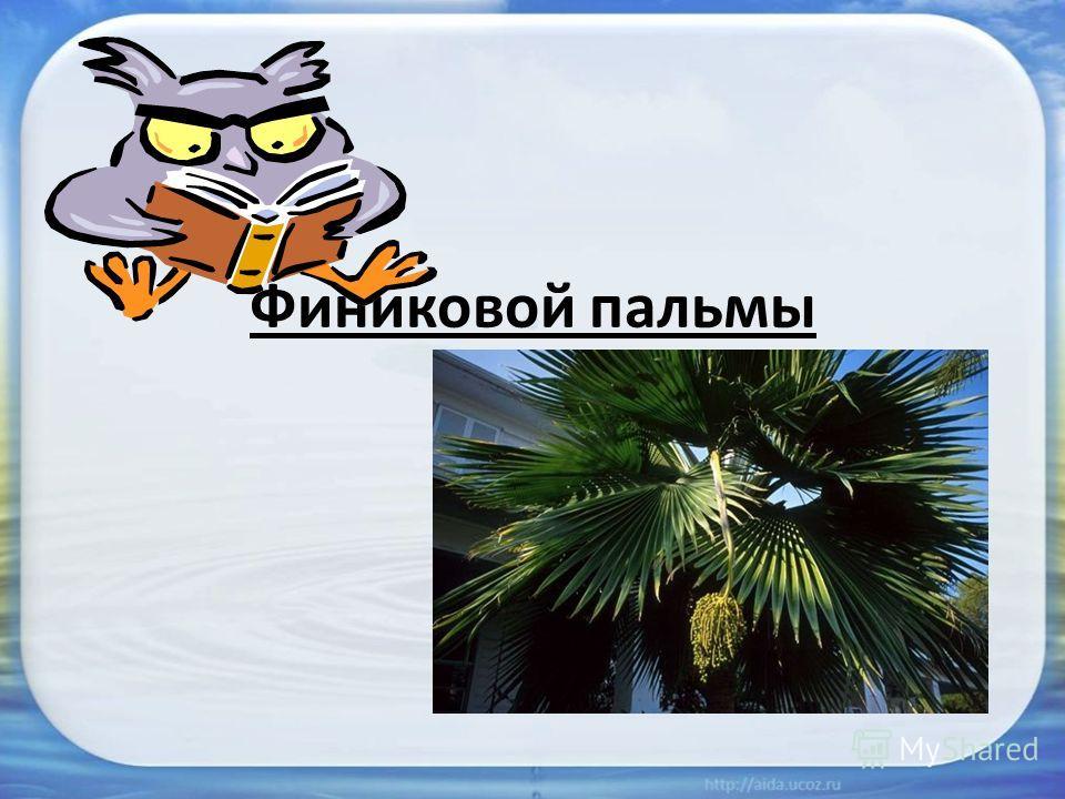 Финиковой пальмы