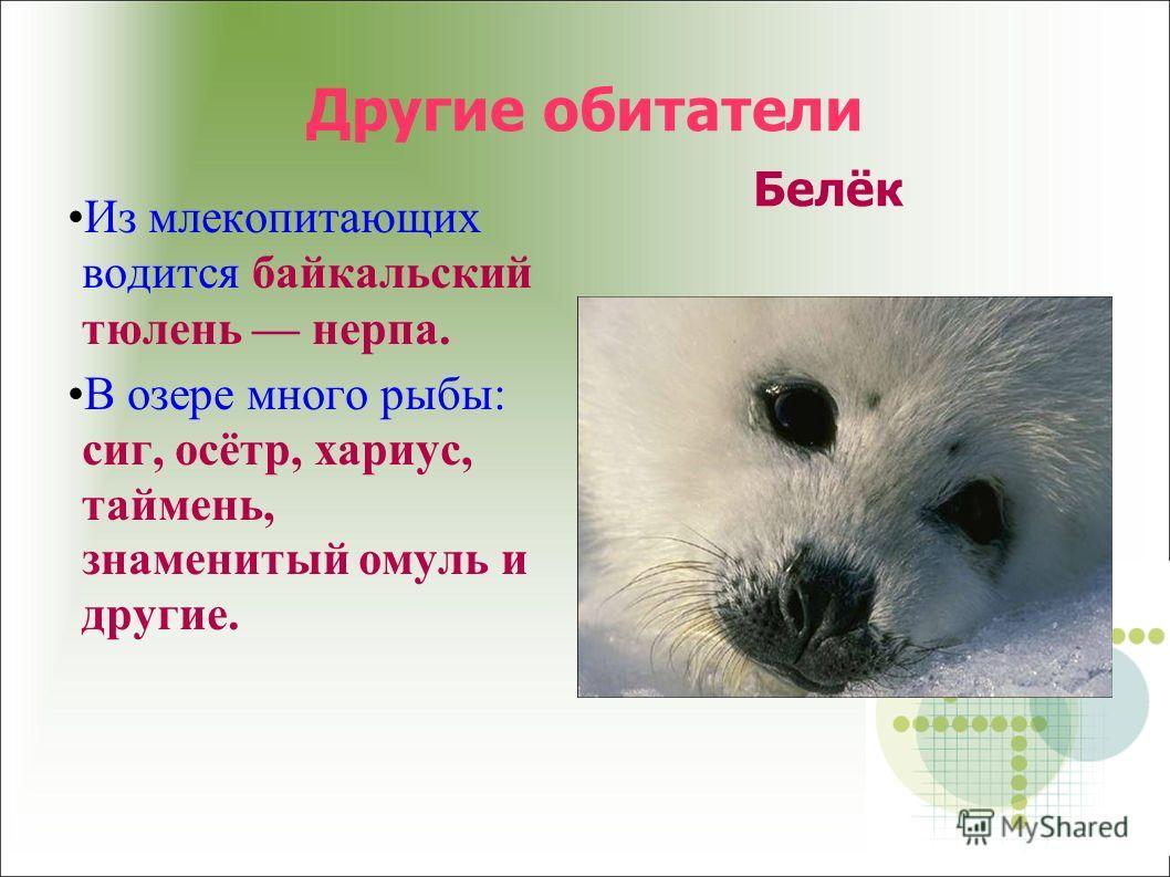 Другие обитатели Белёк Из млекопитающих водится байкальский тюлень нерпа. В озере много рыбы: сиг, осётр, хариус, таймень, знаменитый омуль и другие.