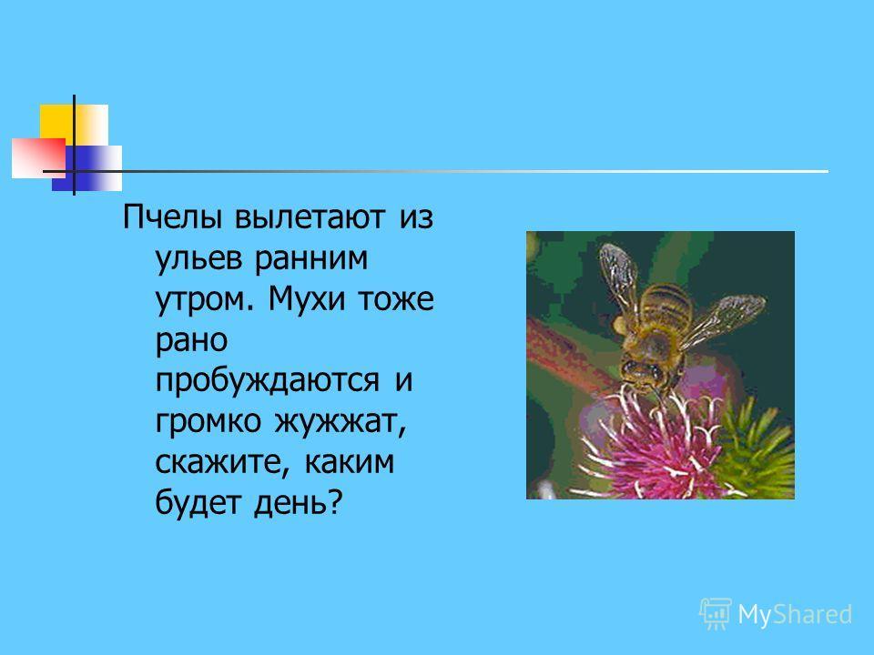 Пчелы вылетают из ульев ранним утром. Мухи тоже рано пробуждаются и громко жужжат, скажите, каким будет день?