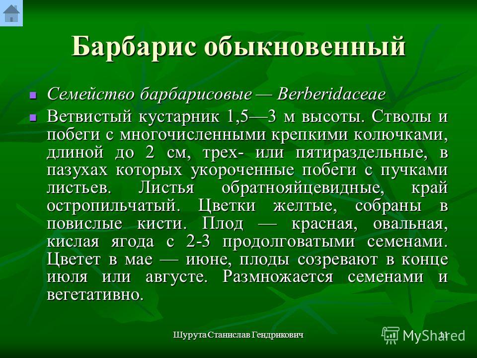 Шурута Станислав Гендрикович10 Барбарис обыкновенный Berberis vulgaris L. Рис