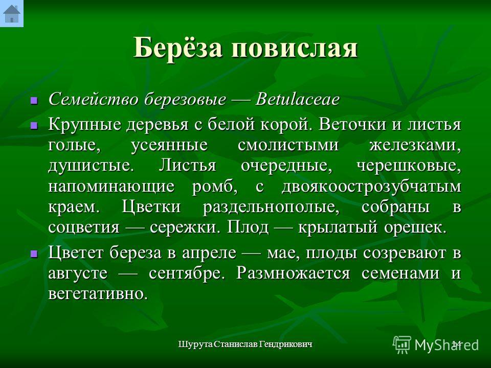 Шурута Станислав Гендрикович13 Берёза повислая Betula pendula Roth. Рис