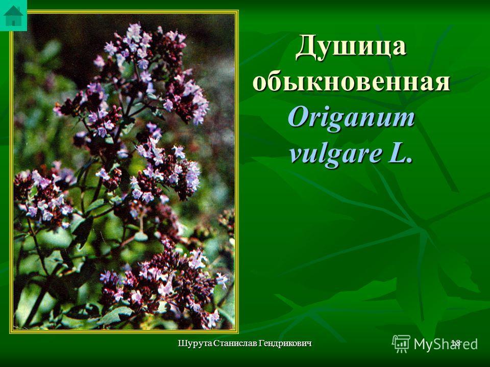 Шурута Станислав Гендрикович17 Горец перечный В медицине используют надземную часть (траву) в качестве кровоостанавливающего средства. Применяют в виде настоя и отвара. В медицине используют надземную часть (траву) в качестве кровоостанавливающего ср
