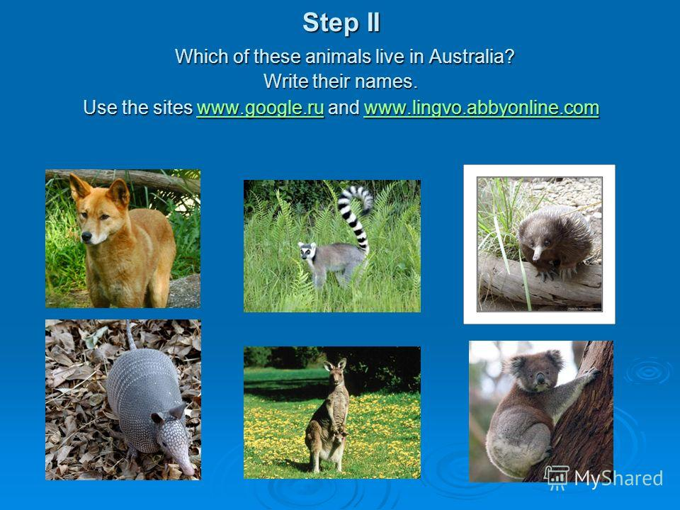 Step II Which of these animals live in Australia? Write their names. Use the sites www.google.ru and www.lingvo.abbyonline.com www.google.ruwww.lingvo.abbyonline.comwww.google.ruwww.lingvo.abbyonline.com