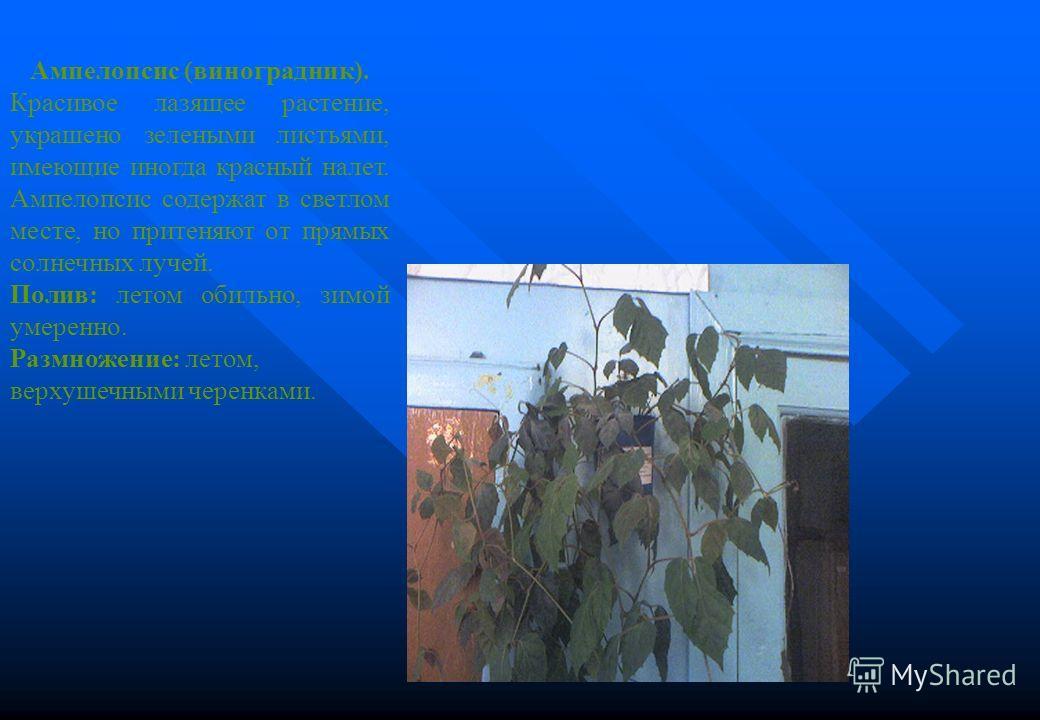 Ампелопсис (виноградник). Красивое лазящее растение, украшено зелеными листьями, имеющие иногда красный налет. Ампелопсис содержат в светлом месте, но притеняют от прямых солнечных лучей. Полив: летом обильно, зимой умеренно. Размножение: летом, верх