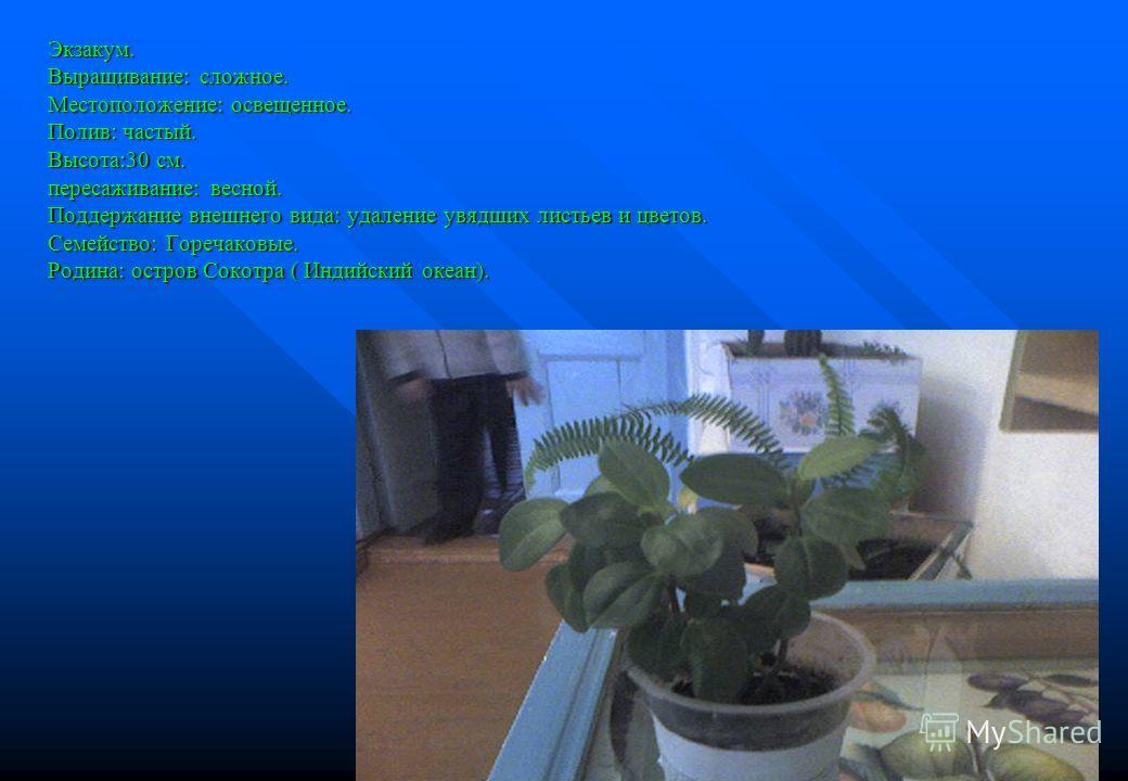 Экзакум. Выращивание: сложное. Местоположение: освещенное. Полив: частый. Высота:30 см. пересаживание: весной. Поддержание внешнего вида: удаление увядших листьев и цветов. Семейство: Горечаковые. Родина: остров Сокотра ( Индийский океан).