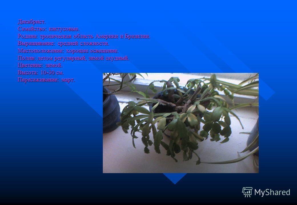 Декабрист. Семейство: кактусовые. Родина: тропическая область Америки и Бразилии. Выращивание: средней сложности. Местоположение: хорошее освещение. Полив: летом регулярный, зимой скудный. Цветение: зимой. Высота: 10-30 см. Пересаживание: март.
