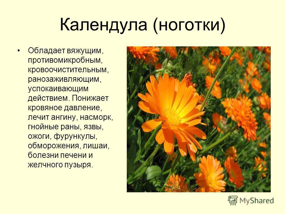 Цветки календулы на латыни
