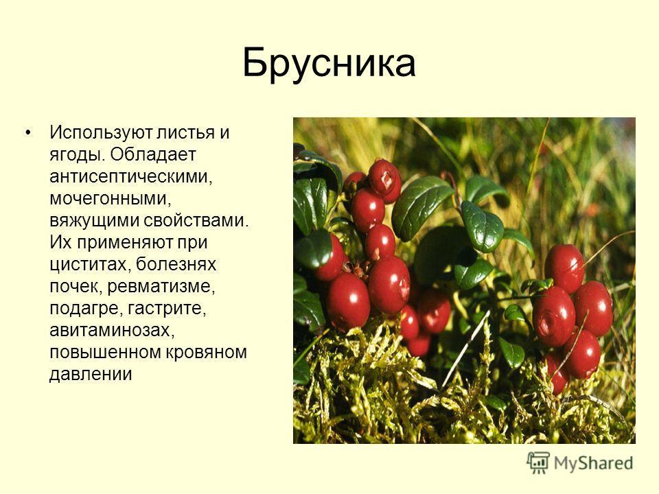 Брусника Используют листья и ягоды. Обладает антисептическими, мочегонными, вяжущими свойствами. Их применяют при циститах, болезнях почек, ревматизме, подагре, гастрите, авитаминозах, повышенном кровяном давлении
