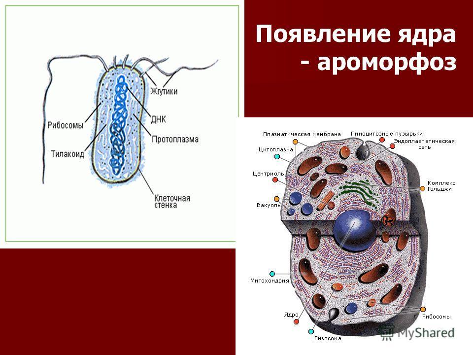 Появление ядра - ароморфоз