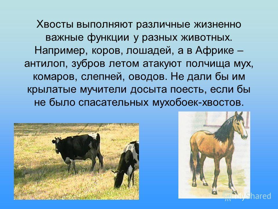 Хвосты выполняют различные жизненно важные функции у разных животных. Например, коров, лошадей, а в Африке – антилоп, зубров летом атакуют полчища мух, комаров, слепней, оводов. Не дали бы им крылатые мучители досыта поесть, если бы не было спасатель