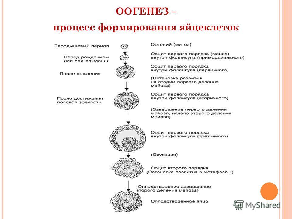 ООГЕНЕЗ – процесс формирования яйцеклеток
