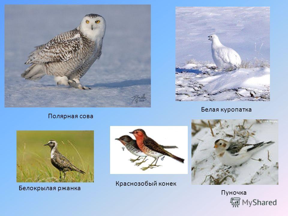 Белая куропатка Полярная сова Белокрылая ржанка Краснозобый конек Пуночка