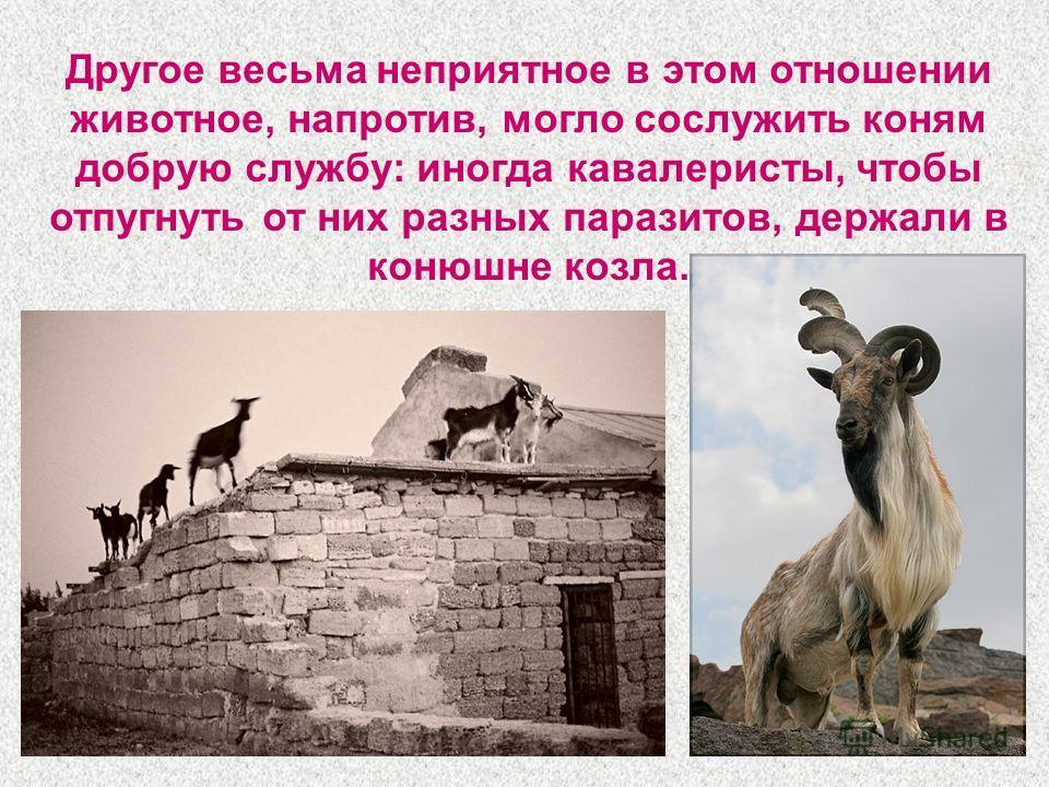 Другое весьма неприятное в этом отношении животное, напротив, могло сослужить коням добрую службу: иногда кавалеристы, чтобы отпугнуть от них разных паразитов, держали в конюшне козла.