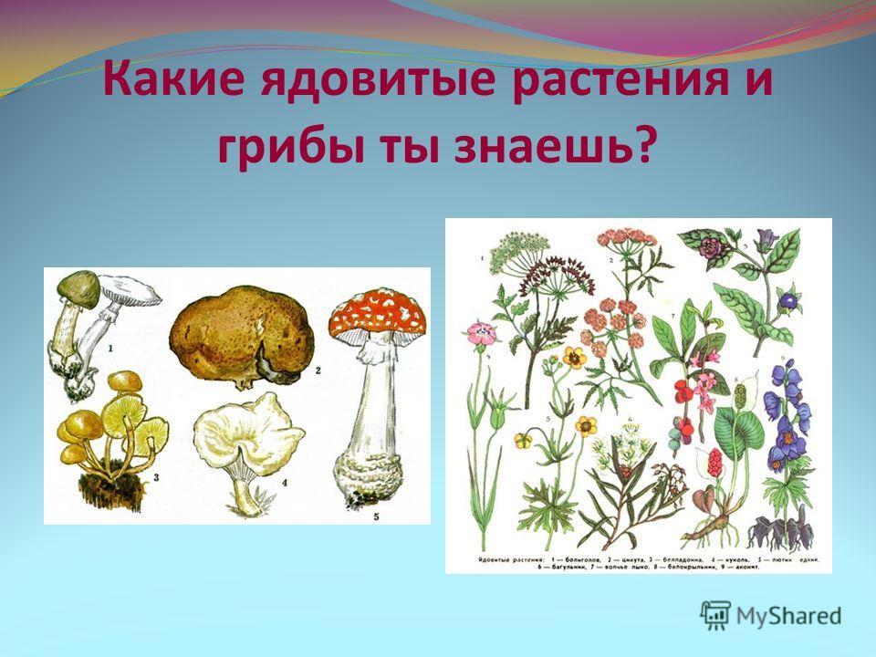 Какие ядовитые растения и грибы ты знаешь?