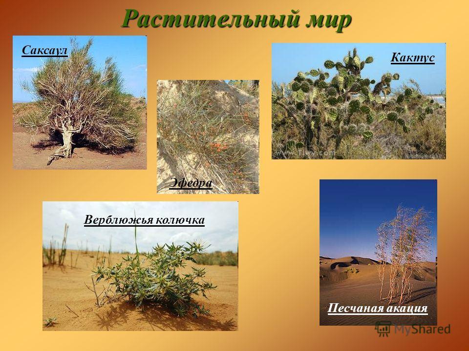 Растительный мир Саксаул Кактус Эфедра Песчаная акация Верблюжья колючка