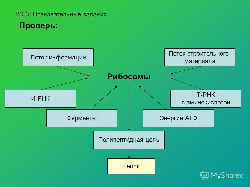 УЭ-3: Познавательные задания. Проверь: Рибосомы Поток информации Поток строительного материала Т-РНК с аминокислотой И-РНК ФерментыЭнергия АТФ Полипептидная цепь Белок