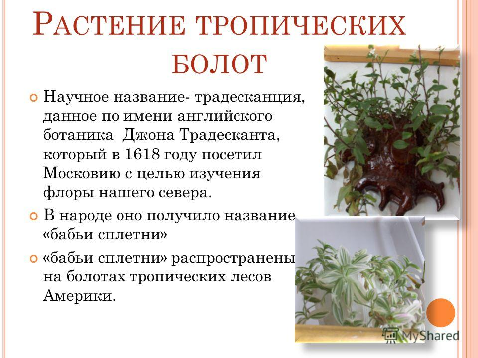 Р АСТЕНИЕ ТРОПИЧЕСКИХ БОЛОТ Научное название- традесканция, данное по имени английского ботаника Джона Традесканта, который в 1618 году посетил Московию с целью изучения флоры нашего севера. В народе оно получило название «бабьи сплетни» «бабьи сплет