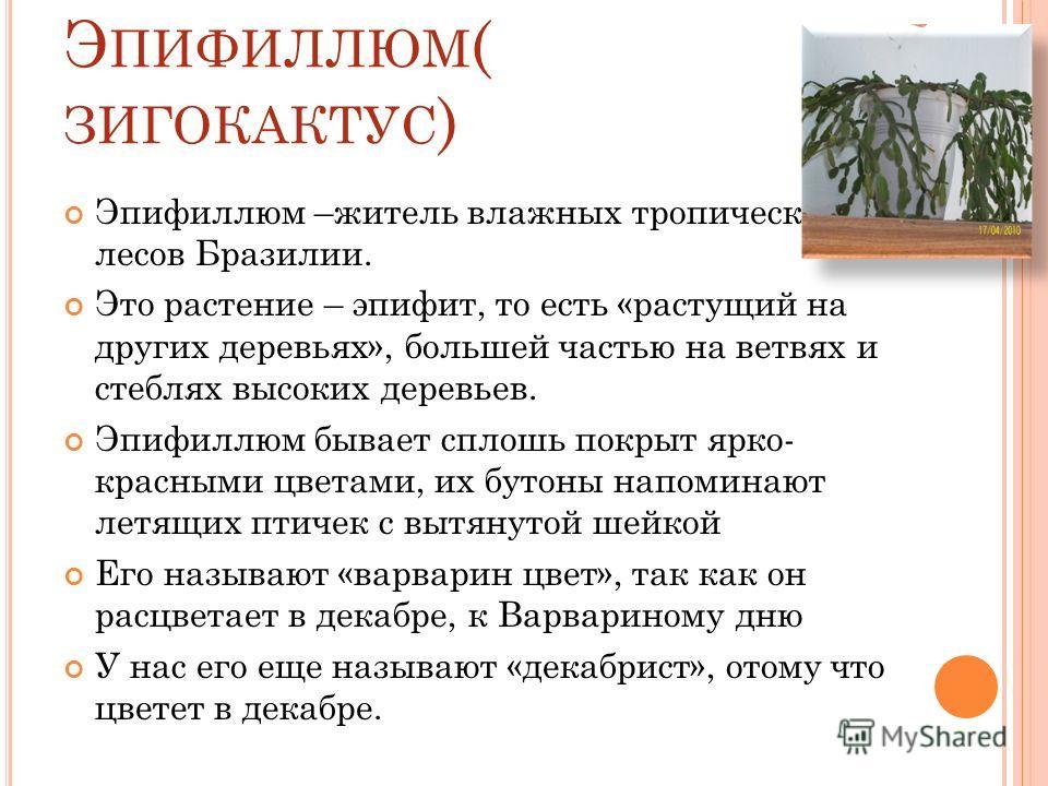 Э ПИФИЛЛЮМ ( ЗИГОКАКТУС ) Эпифиллюм –житель влажных тропических лесов Бразилии. Это растение – эпифит, то есть «растущий на других деревьях», большей частью на ветвях и стеблях высоких деревьев. Эпифиллюм бывает сплошь покрыт ярко- красными цветами,