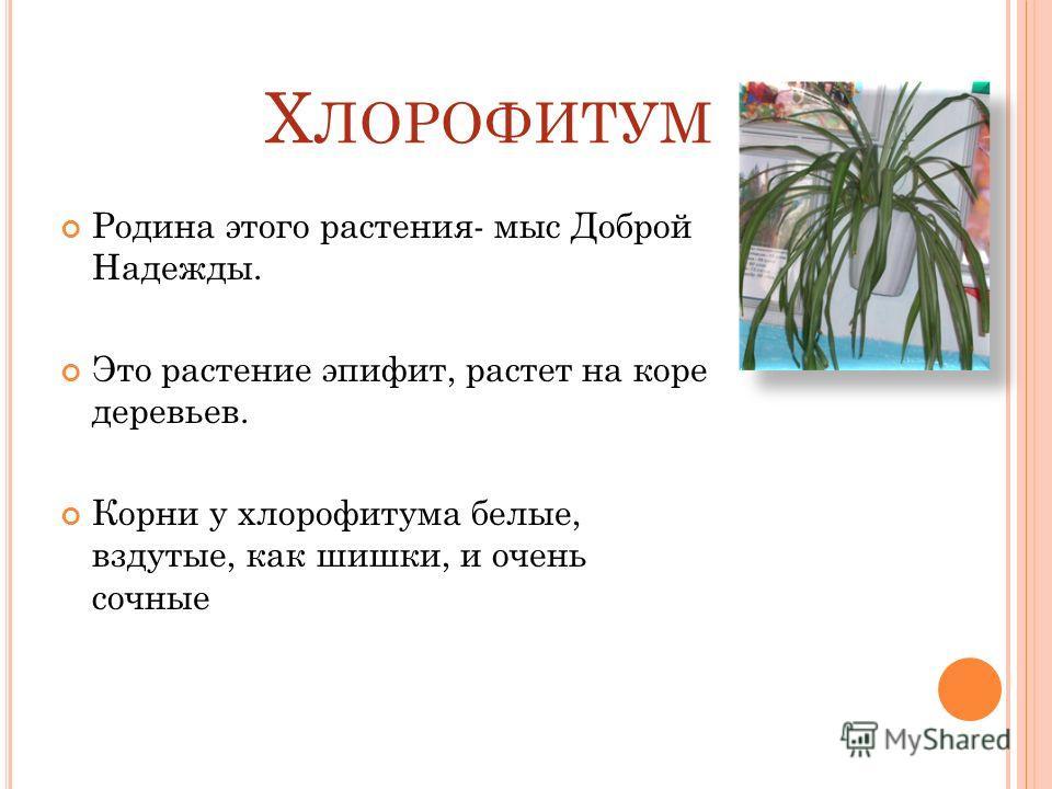 Х ЛОРОФИТУМ Родина этого растения- мыс Доброй Надежды. Это растение эпифит, растет на коре деревьев. Корни у хлорофитума белые, вздутые, как шишки, и очень сочные