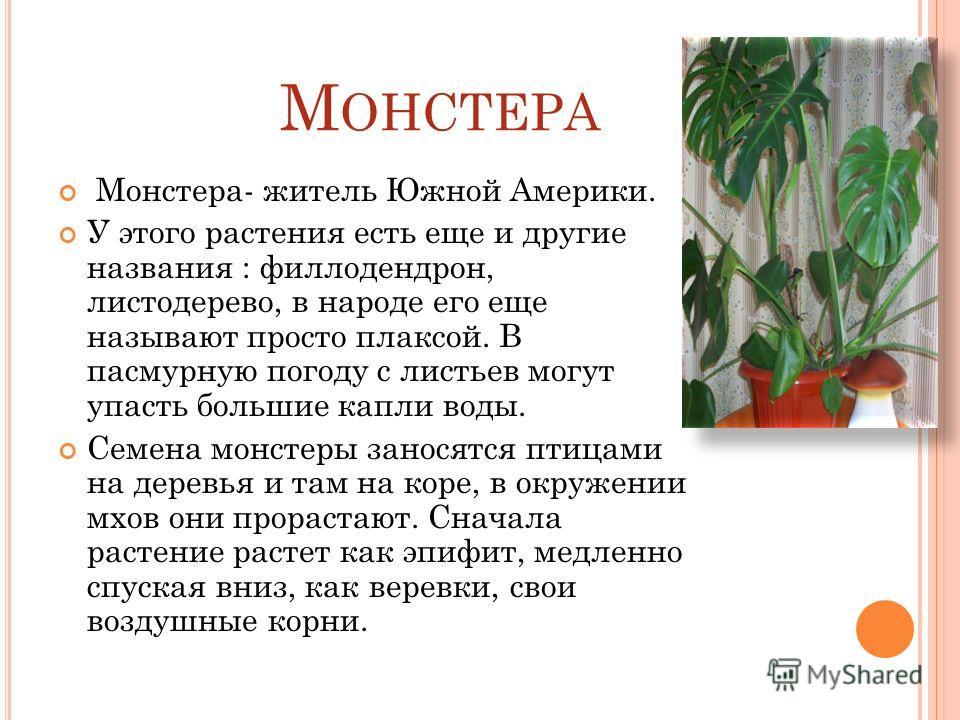 М ОНСТЕРА Монстера- житель Южной Америки. У этого растения есть еще и другие названия : филлодендрон, листодерево, в народе его еще называют просто плаксой. В пасмурную погоду с листьев могут упасть большие капли воды. Семена монстеры заносятся птица
