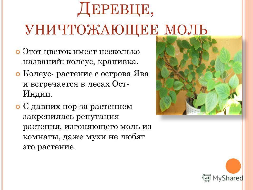 Д ЕРЕВЦЕ, УНИЧТОЖАЮЩЕЕ МОЛЬ Этот цветок имеет несколько названий: колеус, крапивка. Колеус- растение с острова Ява и встречается в лесах Ост- Индии. С давних пор за растением закрепилась репутация растения, изгоняющего моль из комнаты, даже мухи не л