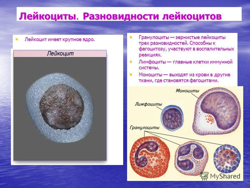 Лейкоцит фото