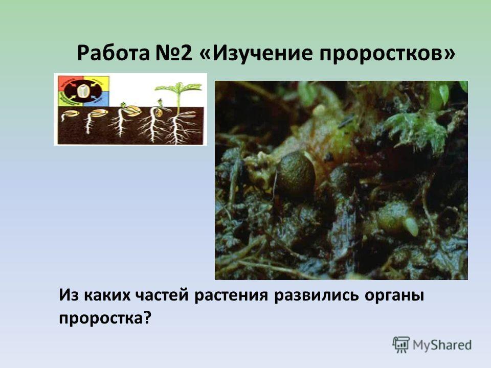 Работа 2 «Изучение проростков» Из каких частей растения развились органы проростка?