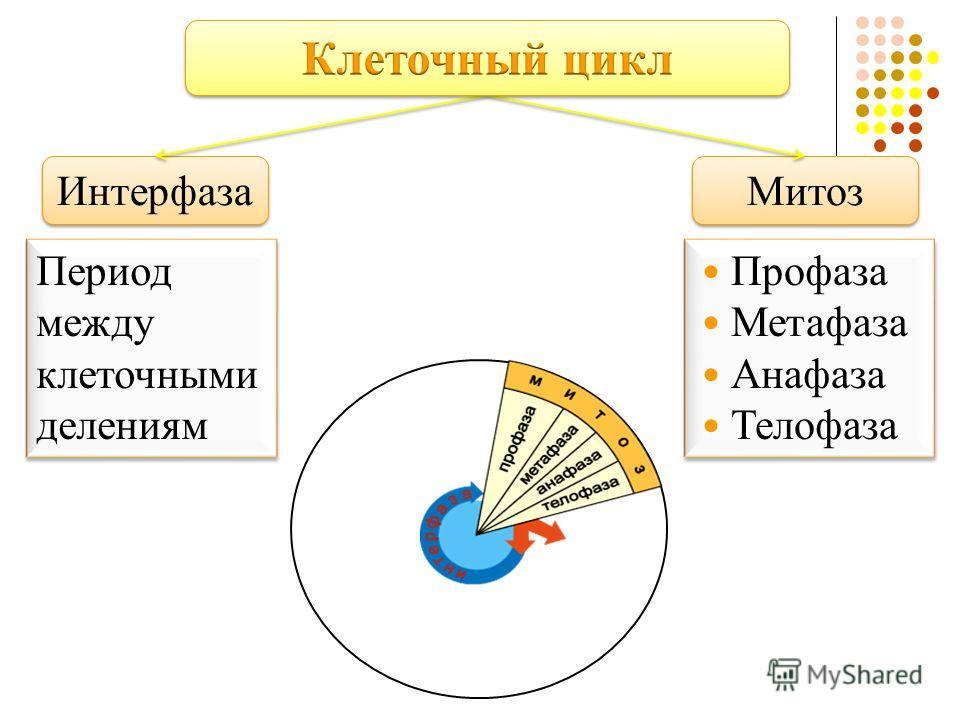 Интерфаза Митоз Период между клеточными делениям Профаза Метафаза Анафаза Телофаза Профаза Метафаза Анафаза Телофаза