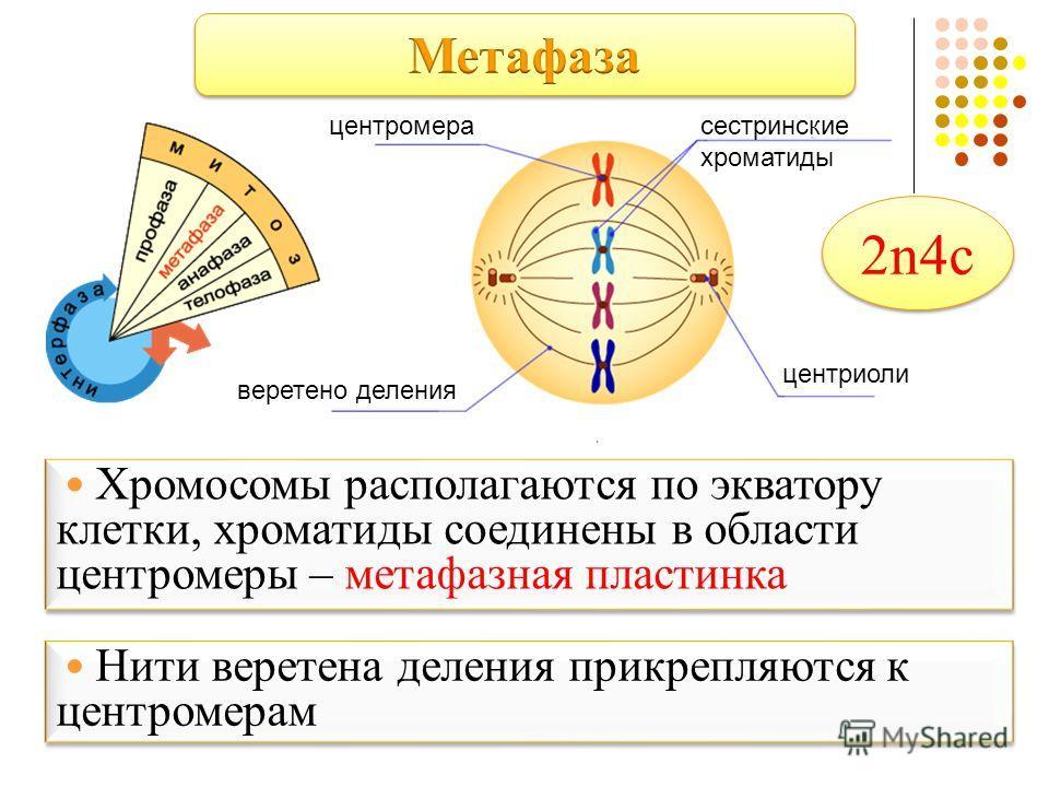 центромерасестринские хроматиды центриоли веретено деления Хромосомы располагаются по экватору клетки, хроматиды соединены в области центромеры – метафазная пластинка Нити веретена деления прикрепляются к центромерам 2n4c2n4c 2n4c2n4c