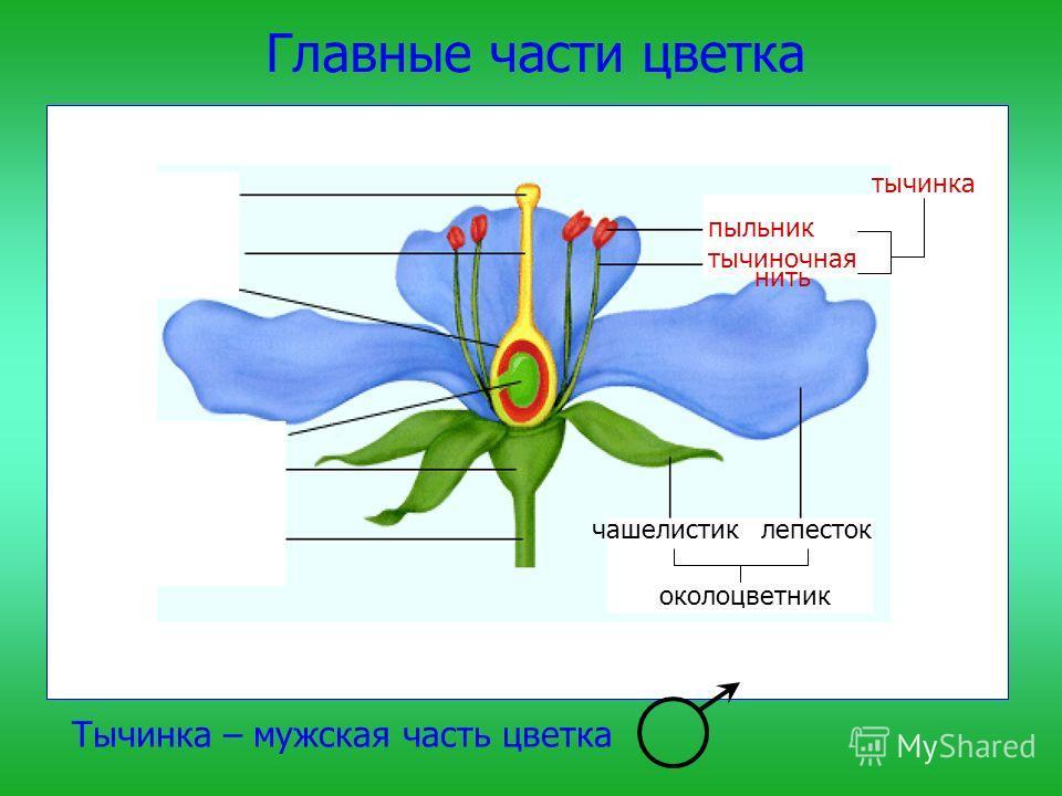 Главные части цветка чашелистиклепесток околоцветник Тычинка – мужская часть цветка тычинка тычиночная нить пыльник