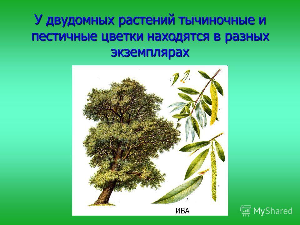 У двудомных растений тычиночные и пестичные цветки находятся в разных экземплярах ИВА