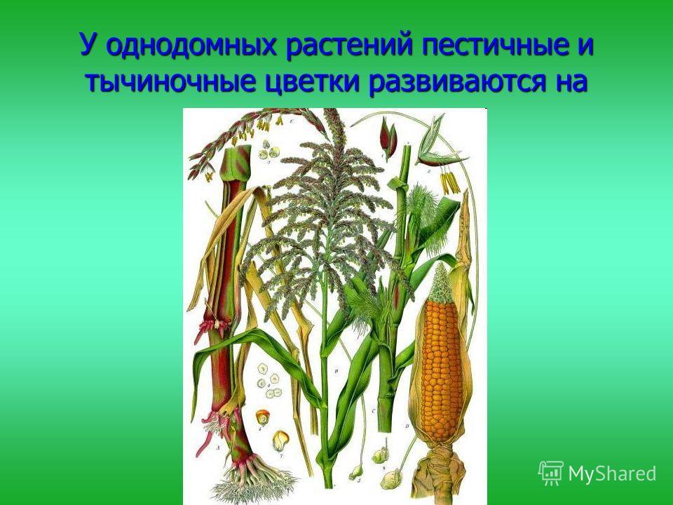 У однодомных растений пестичные и тычиночные цветки развиваются на одном растении