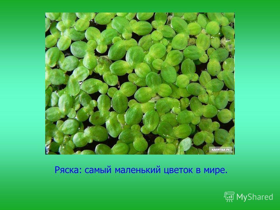 Ряска: самый маленький цветок в мире.