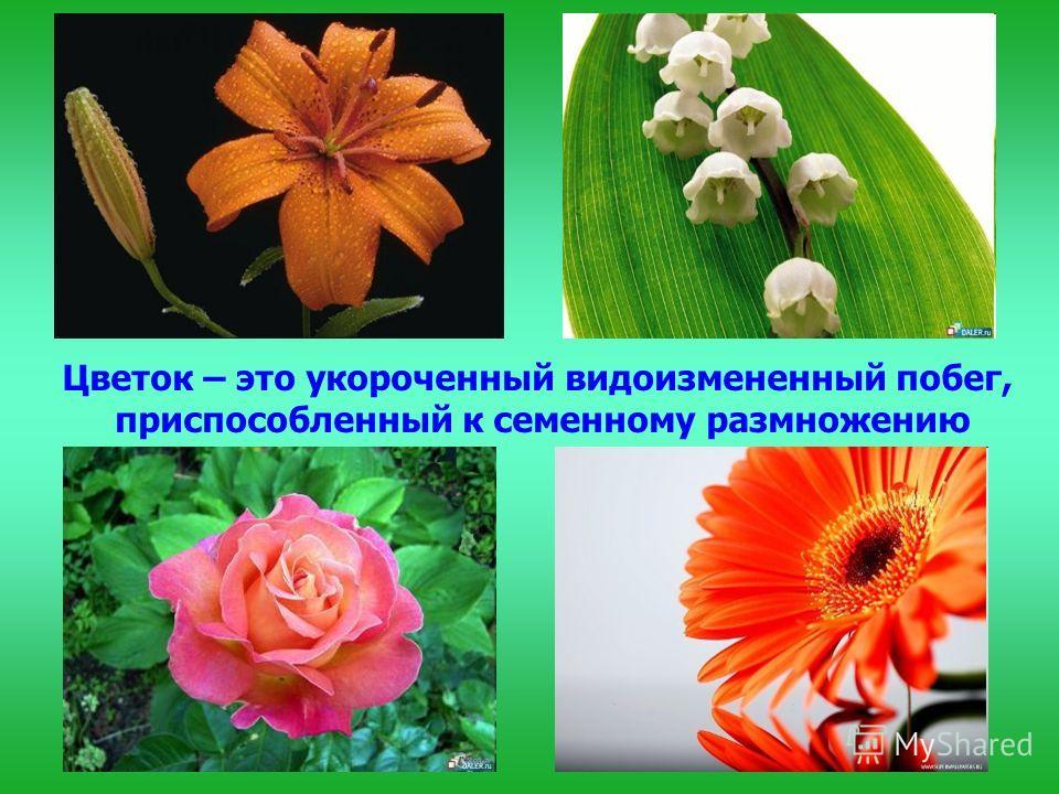 Цветок – это укороченный видоизмененный побег, приспособленный к семенному размножению