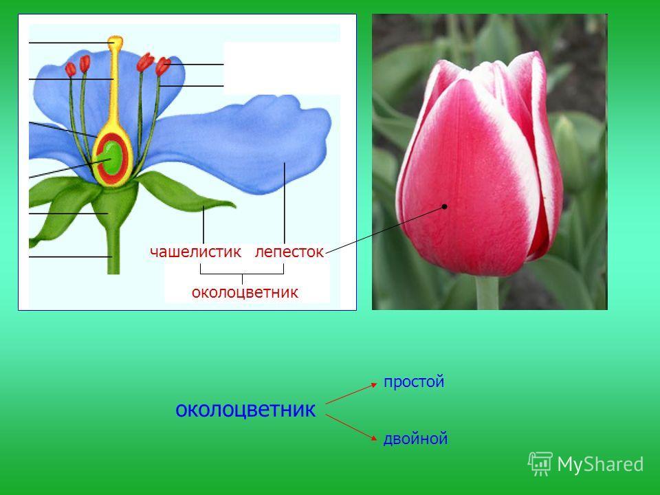 околоцветник простой двойной чашелистиклепесток околоцветник