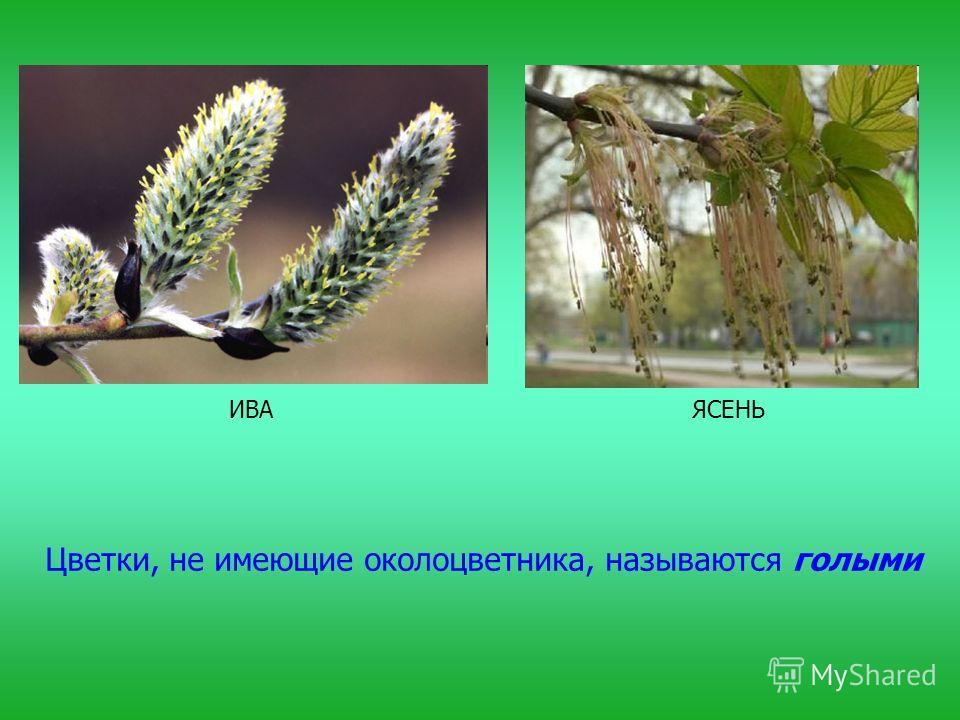 Цветки, не имеющие околоцветника, называются голыми ИВАЯСЕНЬ